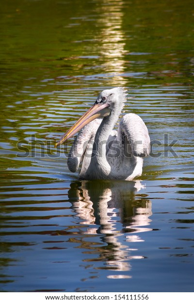 White pelican floating on the water.