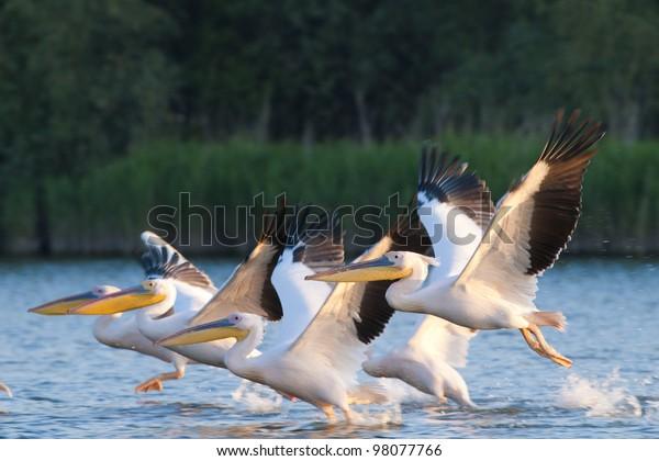 White Pelican flock in flight