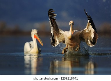 White pelican on lake