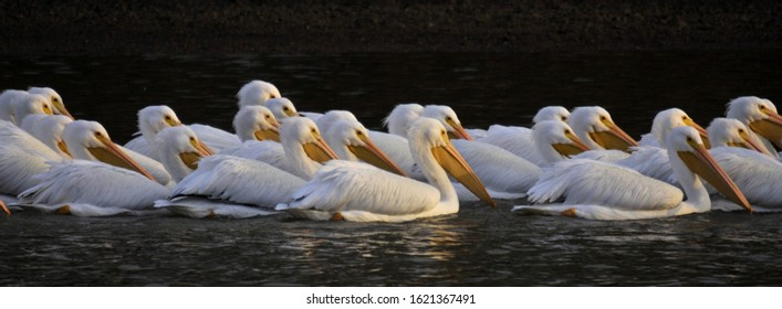 White Pelican on migration at Weiss Lake Alabama