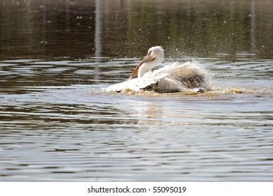 White pelican over the lake
