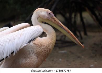 White pelican ( Pelacanus Onocratalus ).