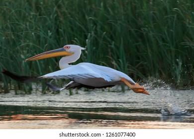 white pelican (pelecanus onocrotalus)  in flight. Danube Delta, Romania