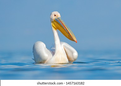 White pelican, Pelecanus onocrotalus, in Lake Kerkini, Greece. Pelicans on blue water surface. Wildlife scene from Europe nature. Bird mountain background. Birds with long orange bills.