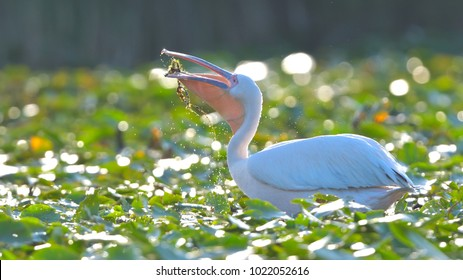 White Pelican (Pelecanus onocrotalus) on Water Lilies Leaves, with Back Light