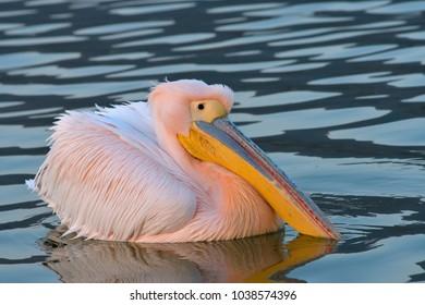 White Pelican (Pelecanus onocrotalus) on Watwr, in Summer