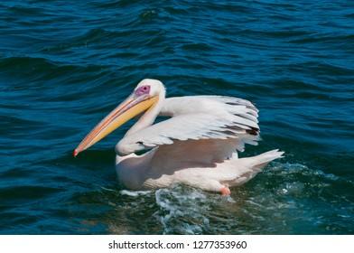 White pelican (Pelecanus onocrotalus), Walvis Bay, Erongo Region, Namibia.