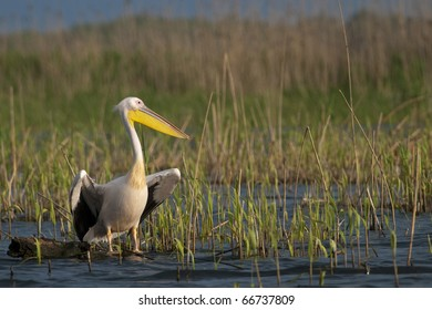 White Pelican resting on a log