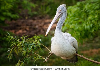 White pelican sitting on branch of tree