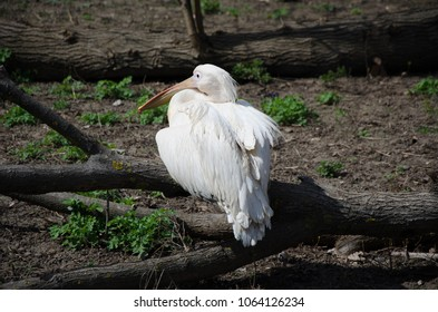 White pelican sitting on a brench