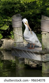 A White Pelican standing on the dock.