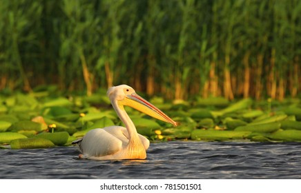 white pelican is the symbol of the Danube delta