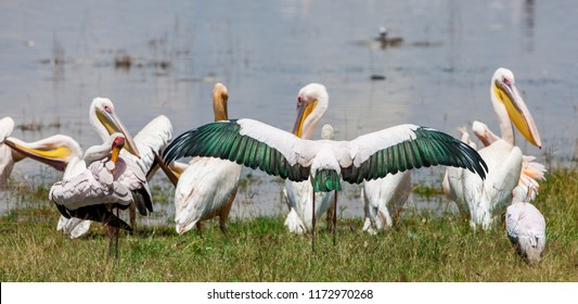 White Pelicans in the Amboseli National Park, Kenya