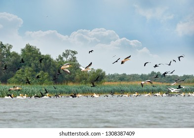 White pelicans and black cormorants flying in flocks in Danube Delta with blue sky and green vegetation