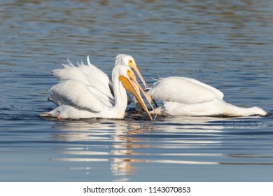White Pelicans in a Florida Marsh
