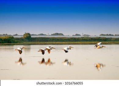 White Pelicans flying (Pelecanus onocrotalus) in Danube Delta Romania