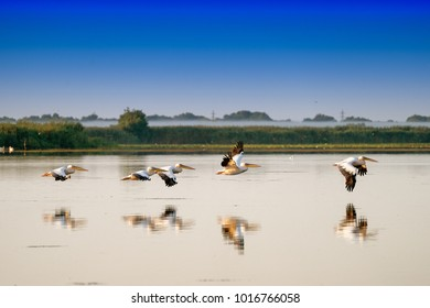 White Pelicans flying (Pelecanus onocrotalus) in Danube Delta Romania