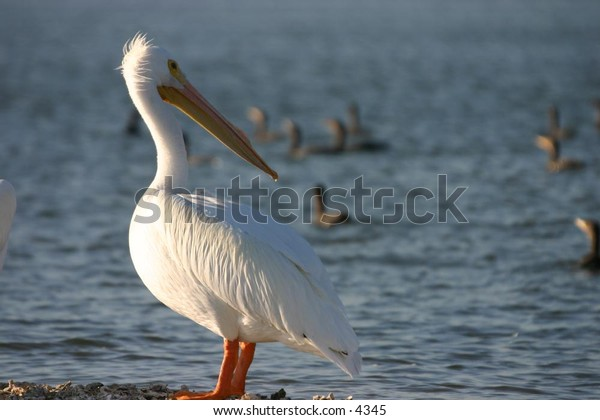 white pelicans grouped at the water's edge