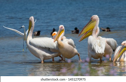 White pelicans in the national natural park Tuzlovsky estuaries in the Ukrainian Black Sea coast