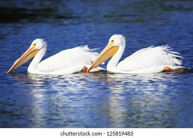 White Pelicans (Pelecanus erythrorhynchos)