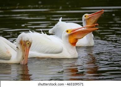 White Pelicans (Pelecanus erythrorhynchos) feeding in the water, Florida
