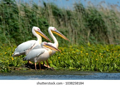 White Pelicans (Pelecanus onocrotalus) on a Floating Island in the Danube Delta