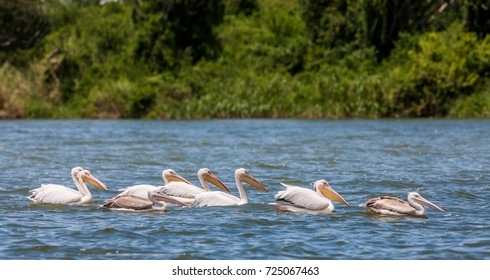 White pelicans, Queen Elizabeth National Park, Kazinga Channel (Uganda)