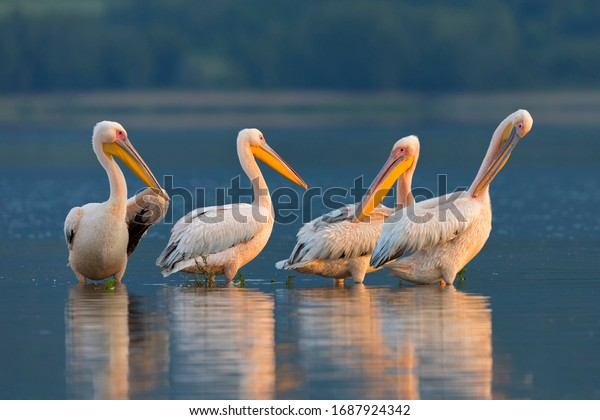 White pelicans resting on the surface of the Kerkini lake. Pelicans from Kerkini lake, Greece.