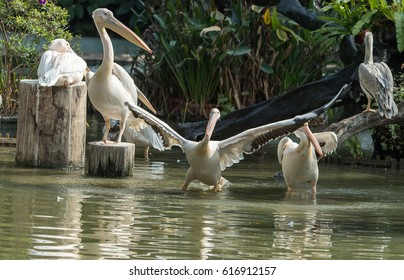 White Pelicans in zoo