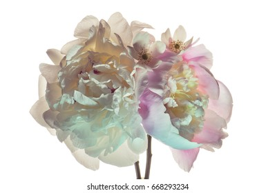 White peonies on a white background. Color illumination.