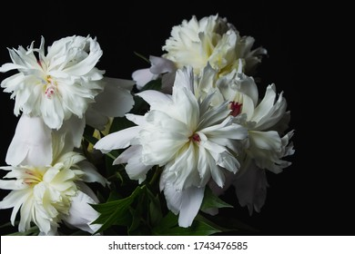 White peonies on a black background.