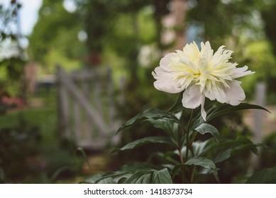 White peony flower in bloom in the garden