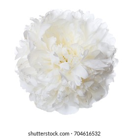White peony flower isolated.