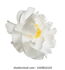 White peony flower isolated on a white background.