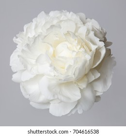 White peony flower isolated on a gray background.
