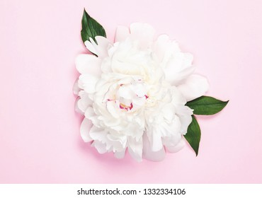 White peony flower and leaves on pastel pink background. Top view. Flat lay.