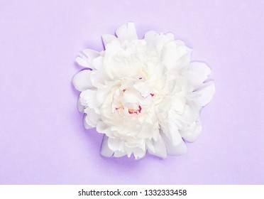 White peony flower on pastel purple background. Top view. Flat lay.