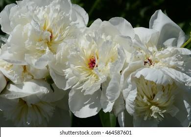 white peony flowers in bloom.