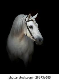 white percheron stallion in bridle over a black background
