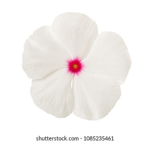 White periwinkle flower head isolated on white