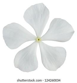 White Periwinkle Flower - Madagascar Periwinkle - Vinca Minor  Isolated on White Background