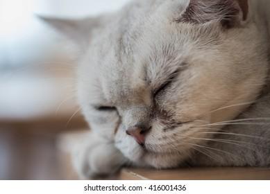 white persia cat