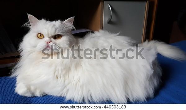 A White Persian cat.