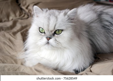 Persian Cat Images, Stock Photos & Vectors | Shutterstock