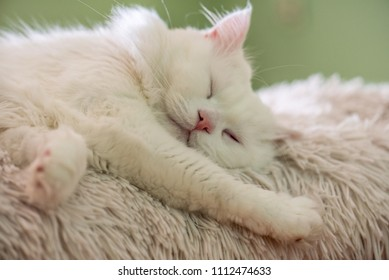 white Persian cat lying on the couch.