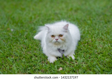 White Persian cat on the lawn