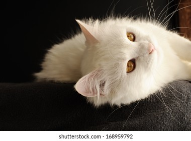 White Persian cat with yellow eyes