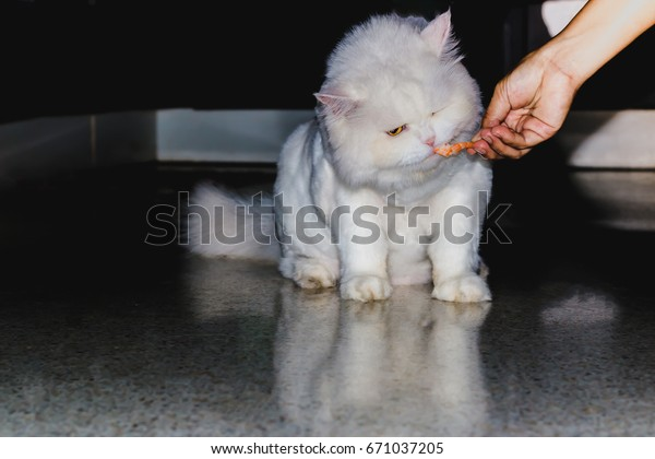 White Persian cats are eating shrimps from the owner's hand.