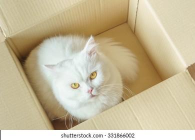 White persian fluffy cat in a present box