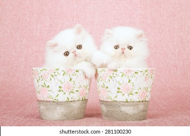 White Persian kittens sitting inside pots decorated with rose patterns on pink background